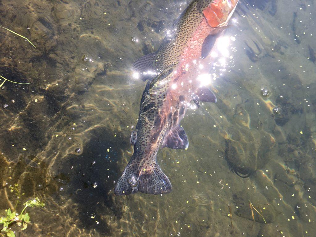 片品川国際マス釣場 縦釣り 大物 ネオスタイル アクセス レギュレーション 数釣り 混雑 巻き