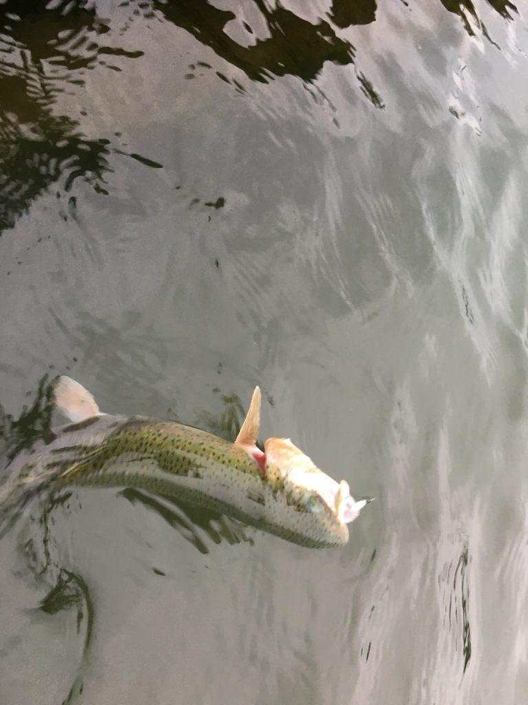 朝霞ガーデン 管釣り東大 管釣り定期健診 スプーン 縦釣り 大物 アクセス レギュレーション 色物 フライ