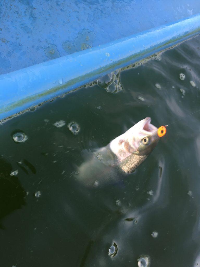 さいたま水上公園 釣り プールフィッシング レギュレーション 大物 料金 色物 初心者 大型変形プール フェザージグ 豆