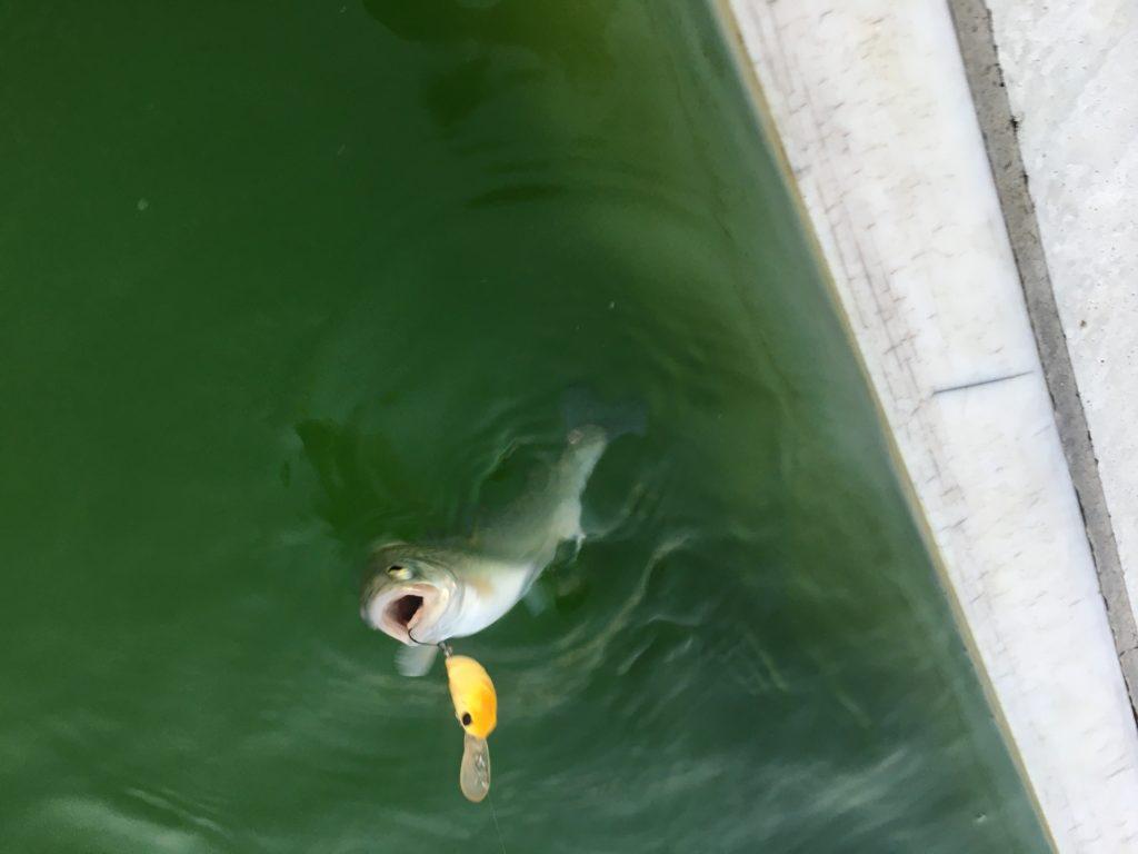川越水上公園 レギュレーション 大物 サクラマス 縦釣り バチプロ ロデオクラフト ノア ふわとろ 料金 混雑コロナ アクセス 釣れる