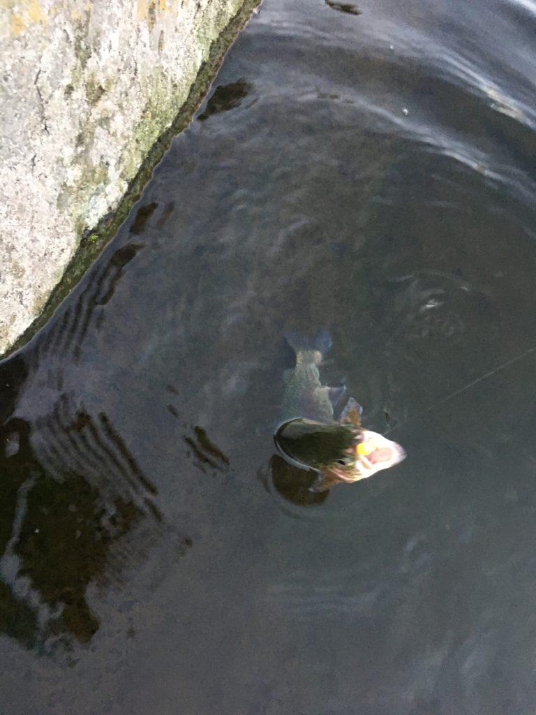 朝霞ガーデン 友釣り レギュレーション 大物 サクラマス イワナ ヤマメ テンカラ フライ フェザー ポテポテ 貧乏釣り部