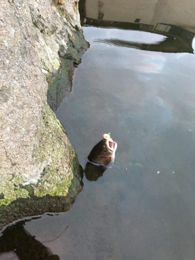 朝霞ガーデン 管釣り定期検診 バベルエース バベルWZ 朝イチ ルアー池 サクラマス ロックトラウト 大物持ち帰り 貧乏釣り部 ポテポテ グリーン ユッケ 管釣りってなんだ 初心者