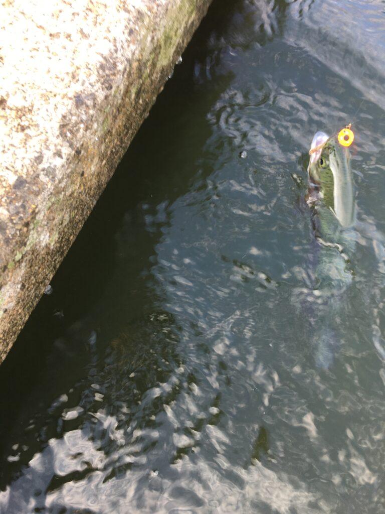 朝霞ガーデン 1号池 2号池 縦釣り 管釣り東大 貧乏釣り部 ネオスタイル ロブルアー スプーン ダイソー バチプロ バベルエース ダイワ 大物 サクラマス ロックトラウト 釣れない